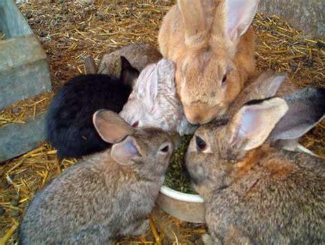 windsor family farm rabbits