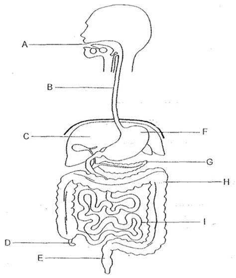 Digestive System Diagram Worksheet by Digestive System Diagram Worksheet Free Worksheets Library