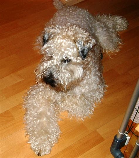 Wheaten Terrier Shedding by The Soft Coated Wheaten Terrier Temperament And Health