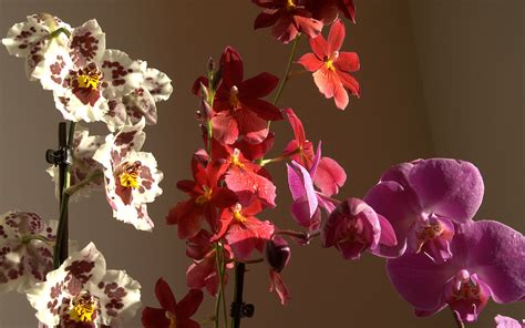 imagenes hermosas de orquideas fotos de orquideas rosas y tulipanes altisima