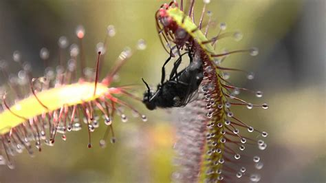 Plants That Don T Need Sunlight sundew carnivorous plant vs fly youtube