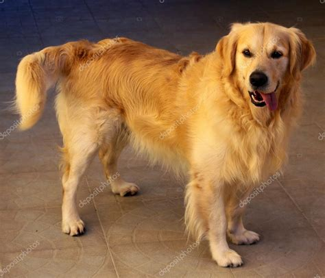 golden retriever sizes golden retriever stock photo 169 zacariasdamata 35478747