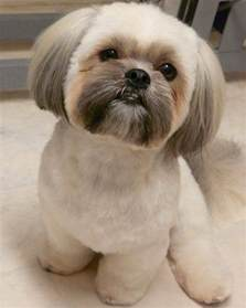 pictures of shih tzu haircuts shih tzu haircuts 6 beautiful shih tzu haircuts