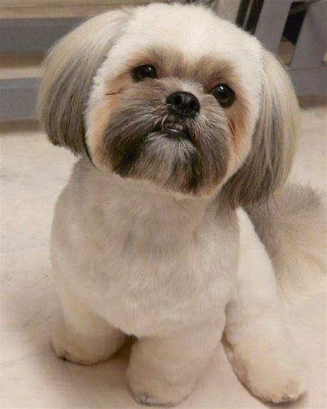 trimmed shih tzu shih tzu haircuts top 6 beautiful shih tzu haircuts shih tzu buzz