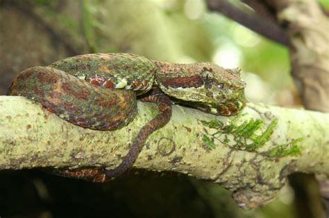 file eyelash viper christmas tree color variation jpg