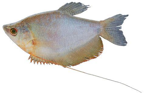 nama dan gambar ikan hias air tawar gambar ikan hias
