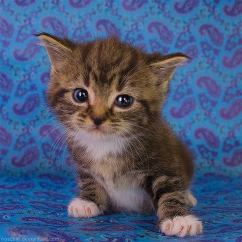 wallpaper anak kucing imut gambar gambar anak kucing yang comel yang lucu dan imut
