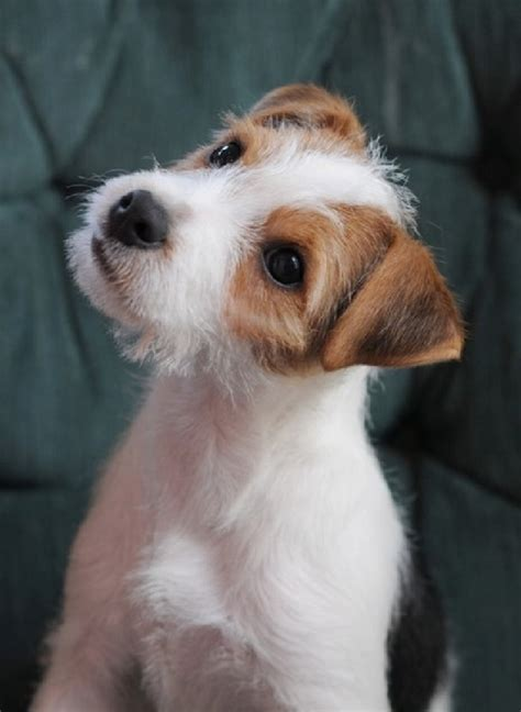 jrt puppies 24 best images about of all trades on today show puppys and