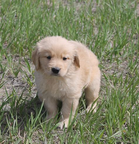 golden retriever puppies for sale 300 golden retriever puppies for sale denver colorado photo