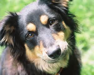 rottweiler border collie border collie rottweiler mix memes