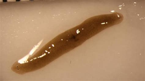 flatworm in worms grow two heads when in space