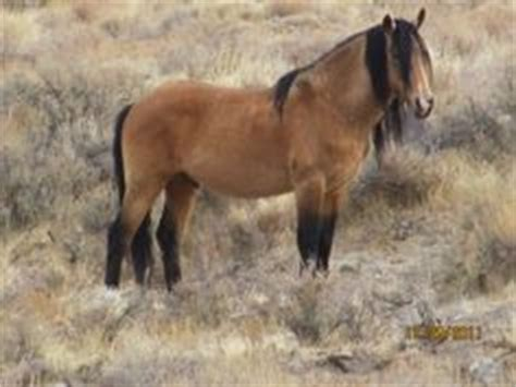 Animal Fernlie 2 horses of fernley nv some horses of nv other pics horses of