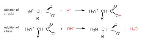 protein zwitterion reactions of amino acids