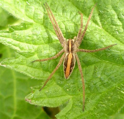 nursery web spider naturespot