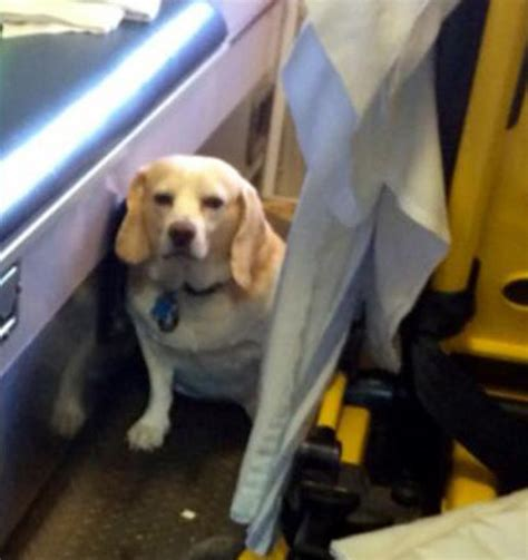 miles brown who let the dogs out dog hitches ride on side of ambulance carrying his ailing