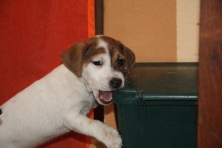 russel alimentazione cuccioli e alimentazione