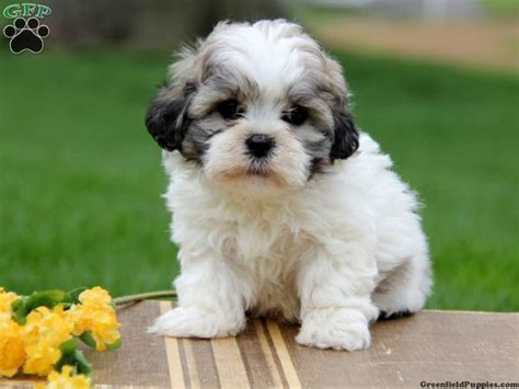 Sheshan Teddy Bear Puppies | pin shichon teddy bear mix puppy in montgomery texas on
