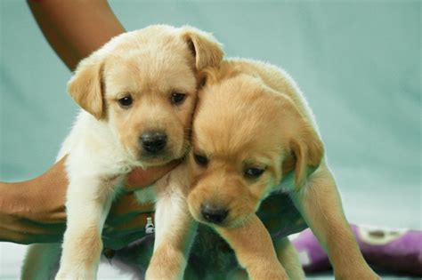 when are puppies weaned weaned puppies humane society of el paso
