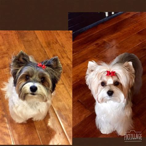 biewer terrier haircuts 13 best images about biewer terrier on pinterest