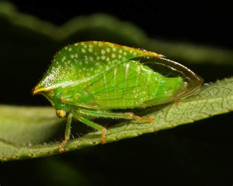 define tree treehopper