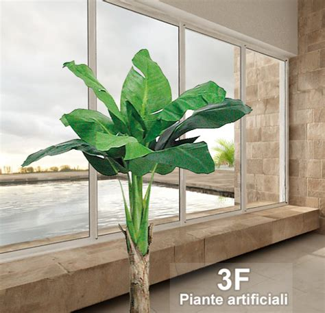 pianta di banano in vaso banano king small x1 altezza cm 80 216 vaso cm 24 3f