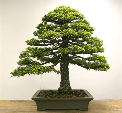 Pflege Bonsai 6380 ruan bonsai garden pflege garden ftempo
