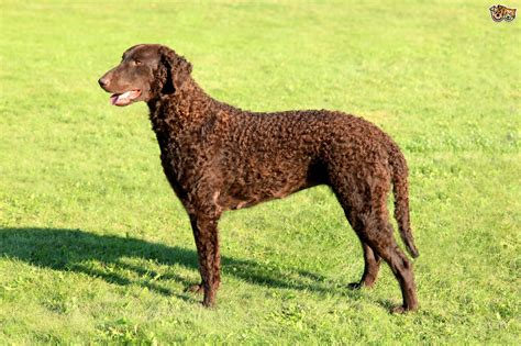 Curly Coated Retriever Dog Breed Information, Buying ...