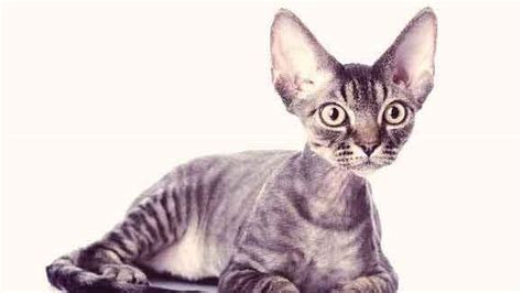 Cat Breeds That Dont Shed by Apartment Dogs I Want How To Walk A In Your Apartment Community Happy And Healthy