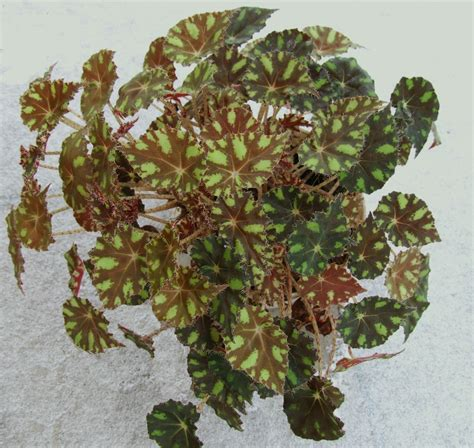 file begonia bowerae tiger a1 jpg wikimedia commons
