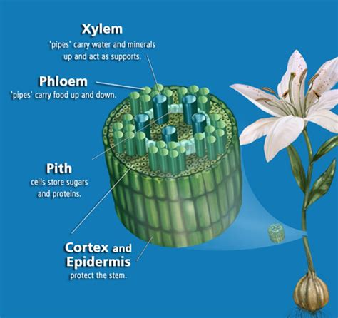 vascular tissue diagram plant adaptions on land
