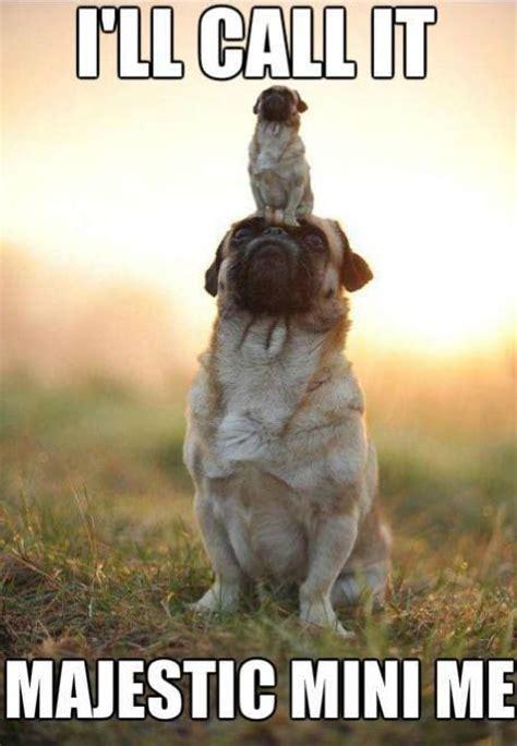 Funny Pug Meme - 17 best images about funny pug dog memes lol on pinterest