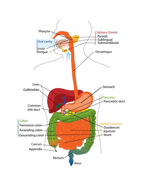 diagram of anatomy gastrointestinal tract anatomy human anatomy diagram