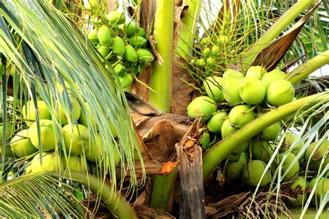 Coconut Tree coconut tree history climate disease planting care facts etc