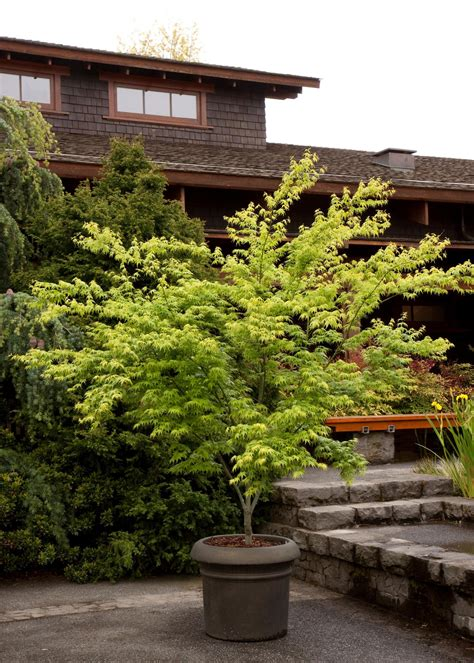 maple tree planting spacing japanese maples planting growing and care tips hgtv