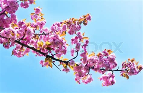 Pink Blossom In Blue pink japanese cherry twig blossom on blue sky background