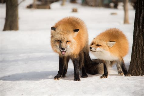is a fox a rates foxes on