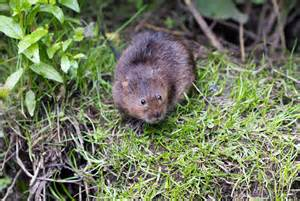 Status Reports Templates water voles