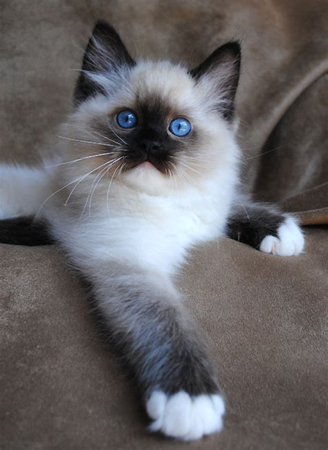ragdoll puppies ragdoll cat breeders ragdoll kittens for sale in ohio cincinnati columbus