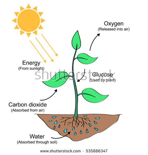 Blank Diagram Of Photosynthesis