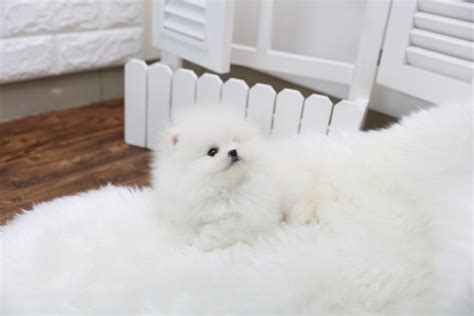 puppies corpus christi affordable baby pomeranian puppies ready corpus christi offer corpus christi pets