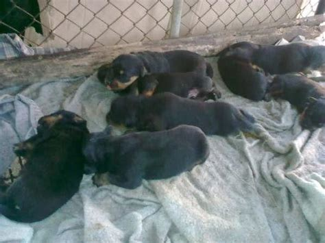 rottweiler puppies malaysia rottweiler puppies for sale adoption from kedah alor setar adpost classifieds