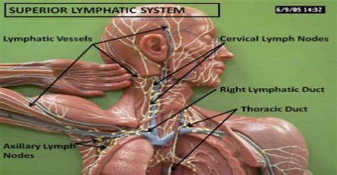 Lymph Nodes Detox by Healthfreedoms Clean Your S Drains 11 Ways To