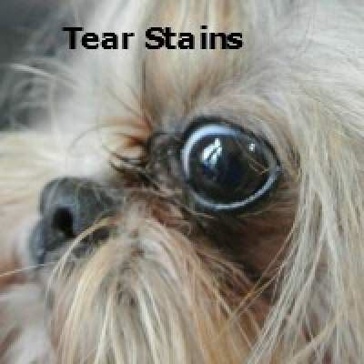 tear stains grooming the shih tzu an overview
