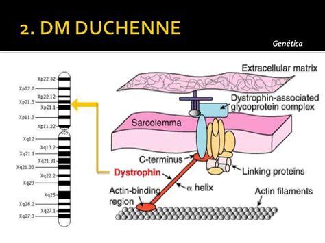 omim entry 310200 muscular dystrophy duchenne type dmd distrofias musculares