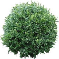 high quality boxwood bush png flora png textures high quality textures