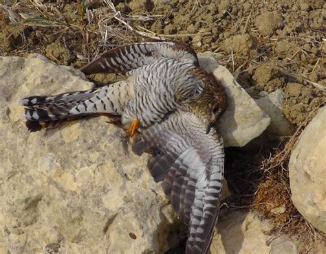 a cuckoo killed malta shocking bird slaughter pictures