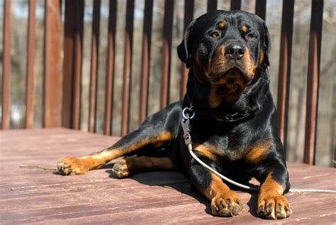 rottweiler names and meanings how the 10 most popular breeds got their names iheartdogs