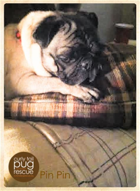 when do pugs tails curl pugs for adoption curly pug rescue