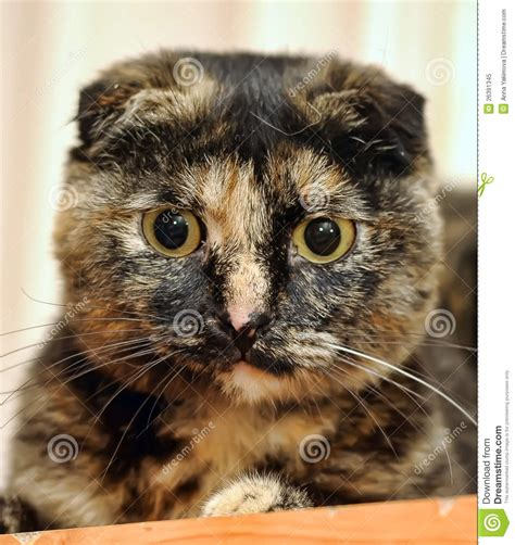Scottish Fold Cat Tortoiseshell Stock Image   Image: 26391345