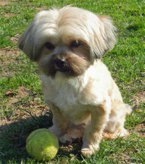 shih tzu pomeranian mix info learn more about the pomeranian shih tzu mix soft and fluffy breeds picture